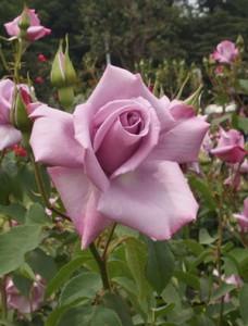 ショッキング・ブルーは四季咲き性