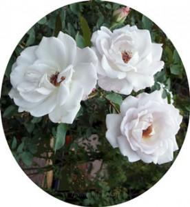 シルバー シャドウズは半剣弁咲きの大輪花