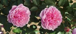 シスター・エリザベスはロゼット咲きです