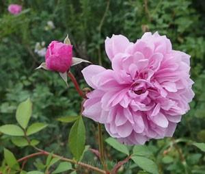 シスター・エリザベスは四季咲きです