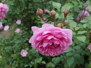 シスター・エリザベスの花径は7cm程の中輪サイズ