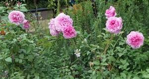 シスター・エリザベスは整った花形でボタン・アイが現れる