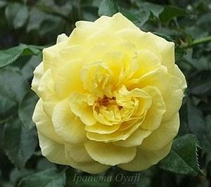 ソレロは四季咲き性です