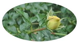 ソレロはフロリバンダ系統のバラ