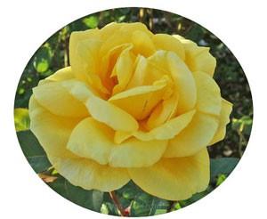 ソリドールの花形は半剣弁高芯咲きです