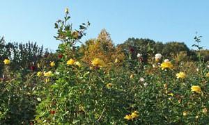 ソリドールは四季咲きです