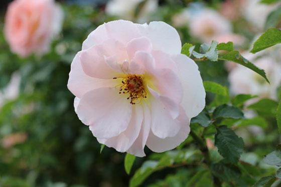 スプリング コサージュは早咲きで花つきがよい