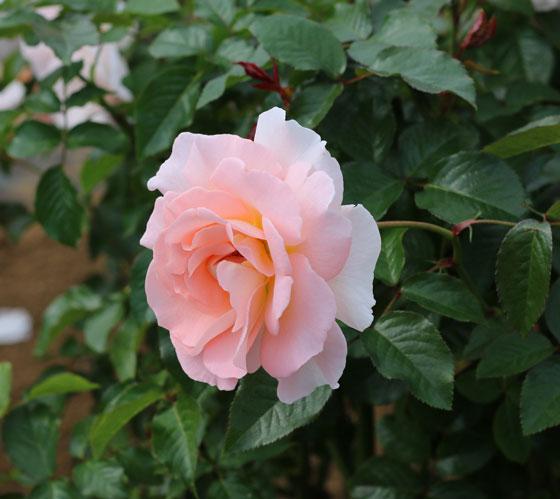 スプリング コサージュの花枝がしなやかで少しうつむいて咲く