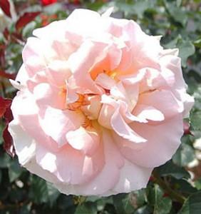 スプリング コサージュの花径は約10cmの大輪花