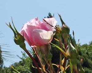 ストロベリー ダイキリの樹高は140cmです