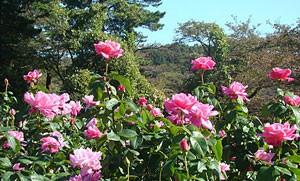 ストロベリー ヒルは中大輪のロゼット咲きです