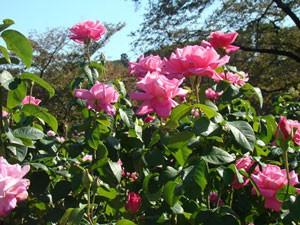 ストロベリー ヒルは強いミルラ乃芳香があります