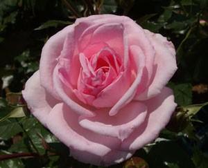 ストロベリー ダイキリは四季咲き
