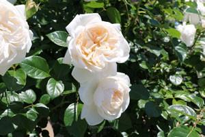 サマー メモリーズの花径は9cmの中大輪花