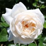 バラ サマー・メモリーズ フロリバンダ系統