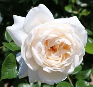 サマー メモリーズの花形はカップ咲きです