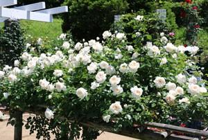 サマー メモリーズはクリームホワイト色の清楚なイメージのバラ