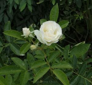 サマー スノーは花径約5cmです