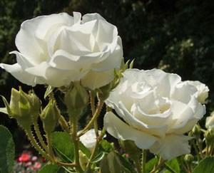 つるサマー スノーは返り咲き品種です