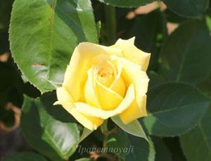 サンシルクの花径は8cmの中輪花