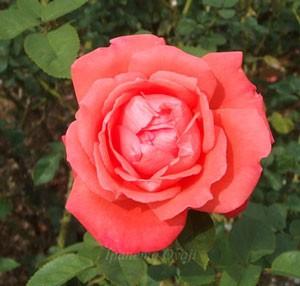 スーパースターの花径は12cm以上の大輪花