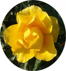 サプライズの花径は7cm程の中輪サイズ