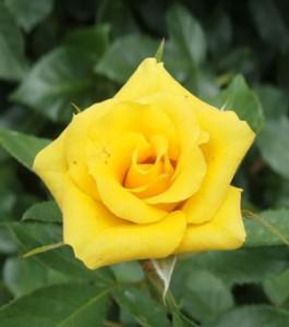 サプライズは花つきがよく房咲きになります