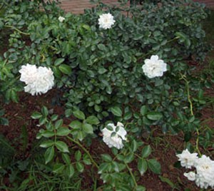 スワニーの花径は5cmの小中輪サイズ
