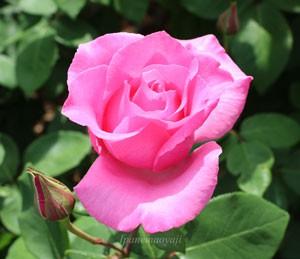 ザ・マッカートニーローズは四季咲き性