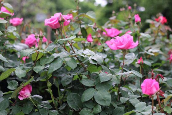 ザ・マッカートニーローズは桃色の大輪花