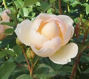 ザ・ジェパーデスは四季咲き性