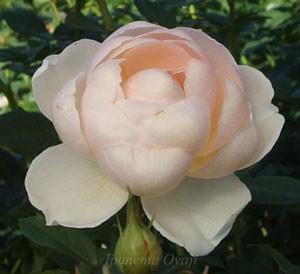 ザ・ジェパーデスの花弁数は41枚以上になります