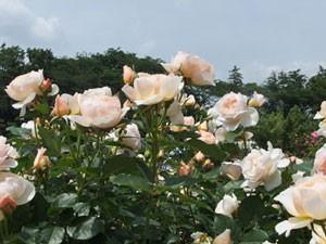 ザ・シェパーデスの花形はカップ咲き