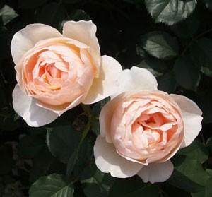 ザ・シェパーデスの花径は7cm程の中輪サイズです