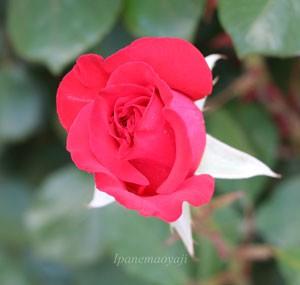 タイムレス'98の花形は半剣弁高芯咲きです