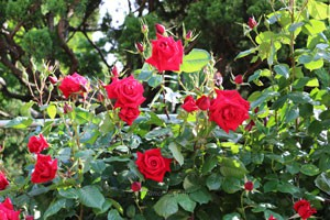 緋赤色の剣弁高芯咲きのバラ