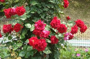 赤色系のつるバラとして人気があります