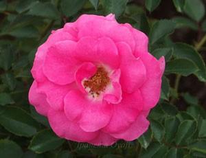うららは丸弁平咲きの中輪サイズの花弁