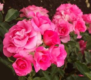 うららは濃いローズ色と薄いピンク色のグラデーションになるときもある