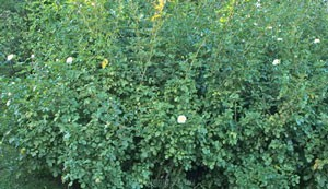 バニラ ボニカはシュラブ樹形の開張タイプです