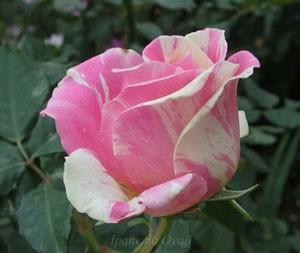 ベリー・ベリー・ベッキー・ローズはピンク色の生地に白色の絞りが入る