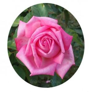 濃い桃色の剣弁高芯咲きは12cm以上の大輪サイズ