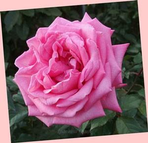 ウェディングベルズは四季咲き性のバラ