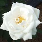 ホワイト・クリスマス バラ