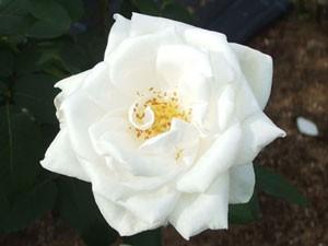 ホワイト クリスマスの花形は15cmにも及ぶ巨大輪です
