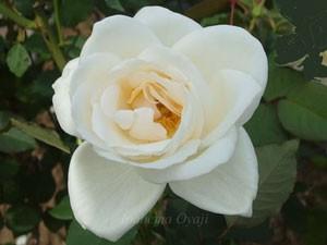 ホワイト クリスマスの花形は半剣弁高芯咲きです