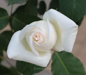 ホワイト クリスマスの花形は巨大輪だが繊細さを感じさせる