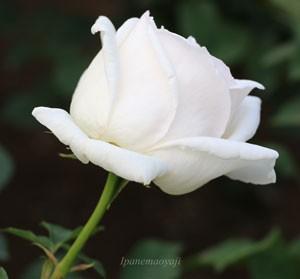 ホワイト クリスマスは花枝が長く切り花にも適する