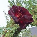 夜の調べ バラ