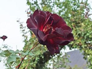 夜の調べは濃黒赤色の半八重咲きのバラ
